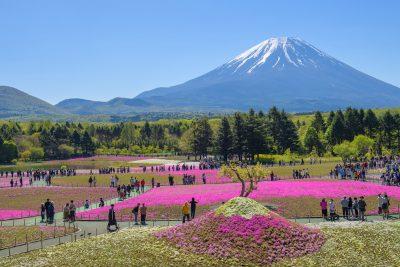 shibazakura cerca de Mt Fuji