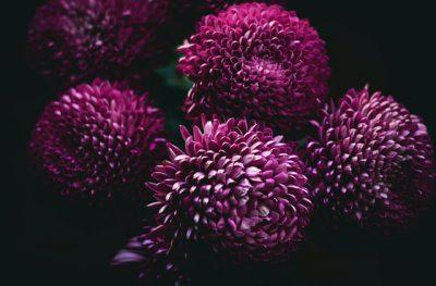 Flor nacional de Japón: el crisantemo