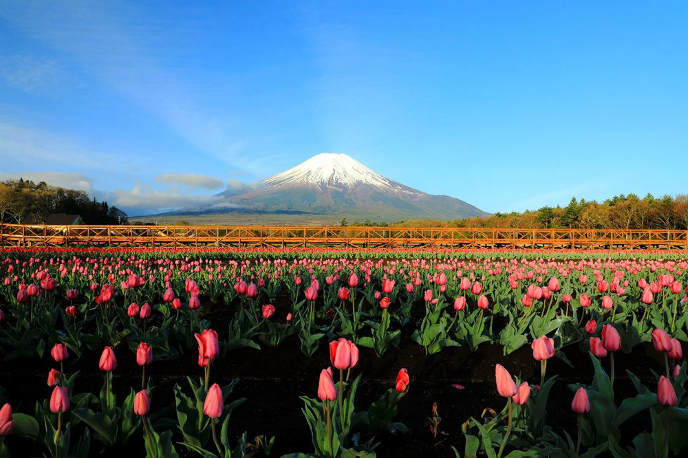 flores y Mt Fuji
