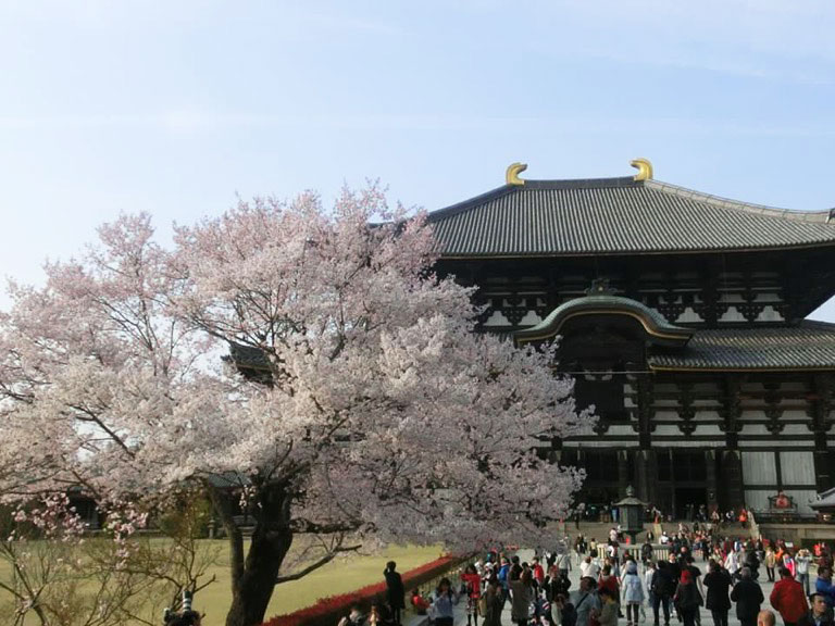 todaiji con cerezo