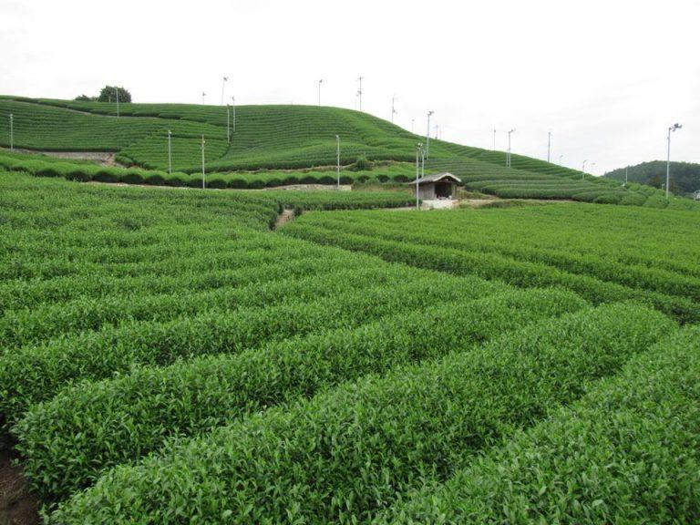 te verde en Shizuoka